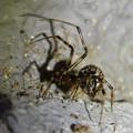 Photos: まだら模様の小さな蜘蛛 - 2