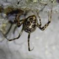 Photos: まだら模様の小さな蜘蛛 - 3