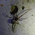 Photos: まだら模様の小さな蜘蛛 - 6