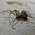 Photos: まだら模様の小さな蜘蛛 - 19
