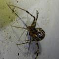 Photos: まだら模様の小さな蜘蛛 - 5