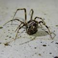 Photos: まだら模様の小さな蜘蛛 - 17