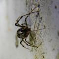 Photos: まだら模様の小さな蜘蛛 - 9