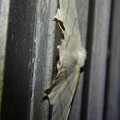 Photos: 下から見たウスキツバメエダシャク