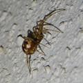 Photos: 小さい茶色い蜘蛛 - 1