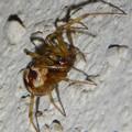 Photos: 小さい茶色い蜘蛛 - 2