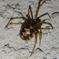 Photos: 小さい茶色い蜘蛛 - 4
