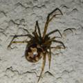 Photos: 小さい茶色い蜘蛛 - 5