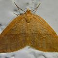 Photos: 白い壁の上にとまってた茶色一色の小さな蛾 - 1