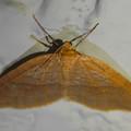 Photos: 白い壁の上にとまってた茶色一色の小さな蛾 - 2