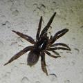 Photos: 小さな黒い蜘蛛 - 1