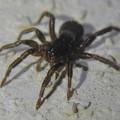 Photos: 小さな黒い蜘蛛 - 2
