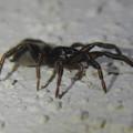 Photos: 小さな黒い蜘蛛 - 3