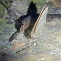 Photos: 弥勒山の麓にいた小さな薄茶色の蛾 - 2