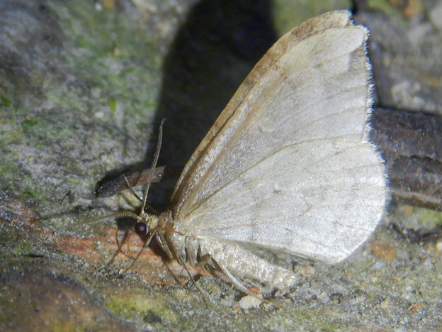 Photos: 弥勒山の麓にいた小さな薄茶色の蛾 - 3