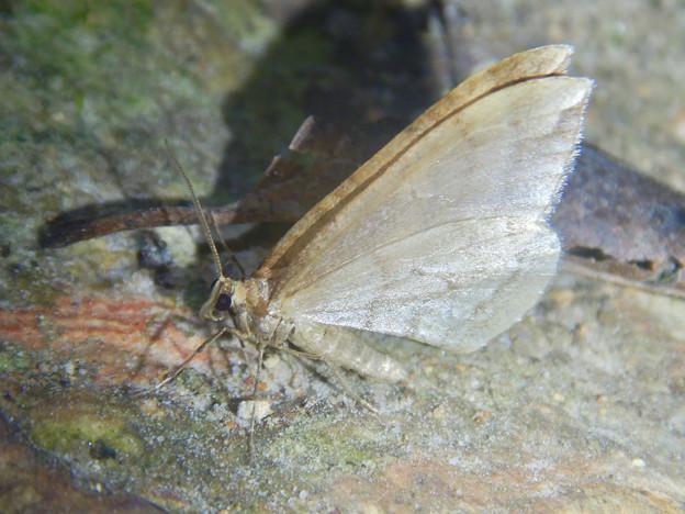 弥勒山の麓にいた小さな薄茶色の蛾 - 1
