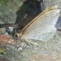 Photos: 弥勒山の麓にいた小さな薄茶色の蛾 - 1