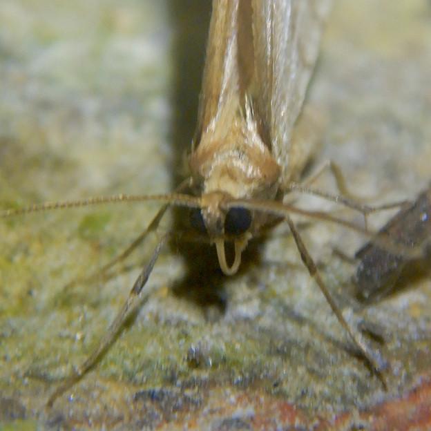 Photos: 弥勒山の麓にいた小さな薄茶色の蛾 - 7