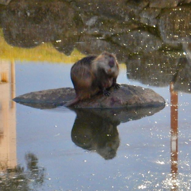 落合公園の池にいたヌートリア - 12