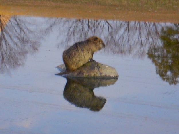 落合公園の池にいたヌートリア - 2