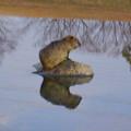Photos: 落合公園の池にいたヌートリア - 2