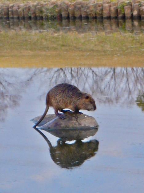 落合公園の池にいたヌートリア - 8