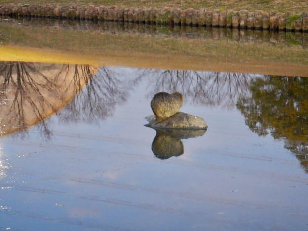 落合公園の池にいたヌートリア - 1