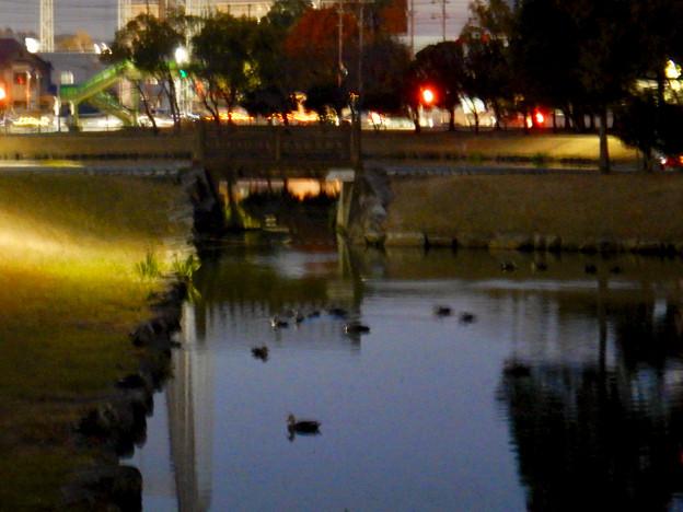 落合公園の池に夜集まっていたカモ - 2