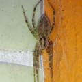 朝宮公園のトイレにいた蜘蛛 - 2