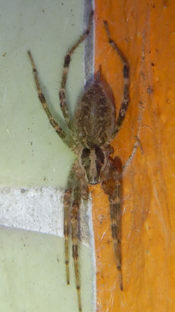 朝宮公園のトイレにいた蜘蛛 - 1