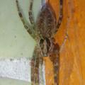 Photos: 朝宮公園のトイレにいた蜘蛛 - 1
