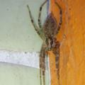 朝宮公園のトイレにいた蜘蛛 - 3