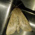 茶色い蛾 - 1
