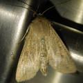 茶色い蛾 - 2