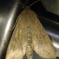茶色い蛾 - 3
