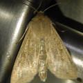 茶色い蛾 - 4