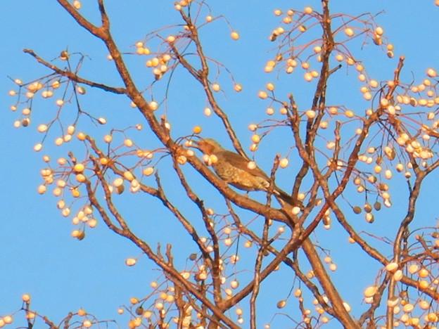 木の実をついばんでいたヒヨドリ - 1