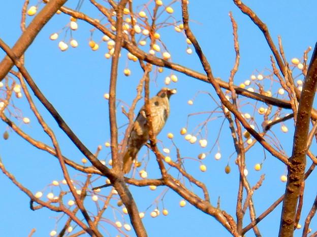 木の実をついばんでいたヒヨドリ - 3