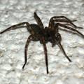 Photos: 室内の壁にいた黒っぽいマダラの蜘蛛 - 1