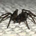 Photos: 室内の壁にいた黒っぽいマダラの蜘蛛 - 4