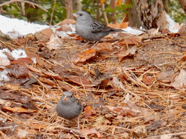 秋ころから弥勒山山頂で見かけるようになった「クロジ」 - 8