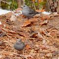 Photos: 秋ころから弥勒山山頂で見かけるようになった「クロジ」 - 8