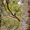Photos: 秋ころから弥勒山山頂で見かけるようになった「クロジ」 - 11
