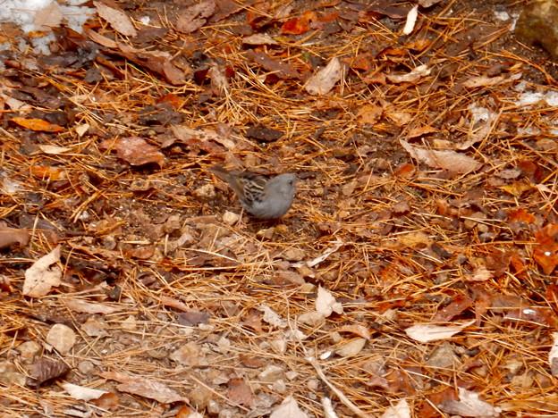 秋ころから弥勒山山頂で見かけるようになった「クロジ」 - 13