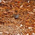 Photos: 秋ころから弥勒山山頂で見かけるようになった「クロジ」 - 13