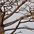 Photos: 弥勒山山頂:ピーナッツを咥えて木に止まるヤマガラ - 1