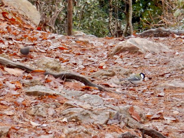 弥勒山山頂:地面の上の餌を探すクロジとシジュウカラ - 1