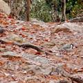 Photos: 弥勒山山頂:地面の上の餌を探すクロジとシジュウカラ - 1