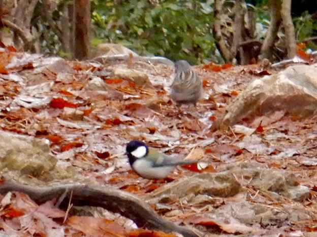 弥勒山山頂:地面の上の餌を探すクロジとシジュウカラ - 2