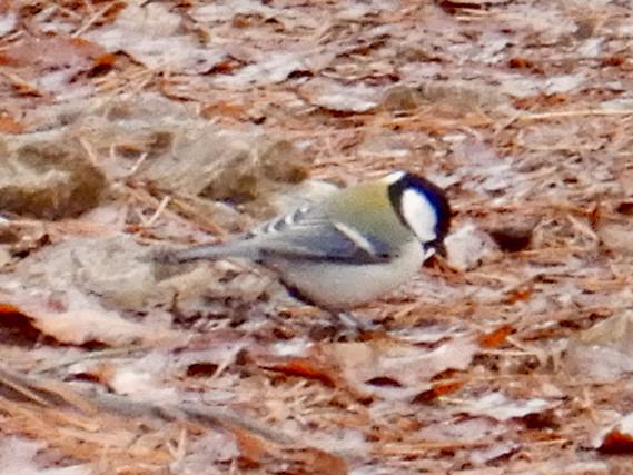 弥勒山山頂:地面の上の餌を探すシジュウカラ
